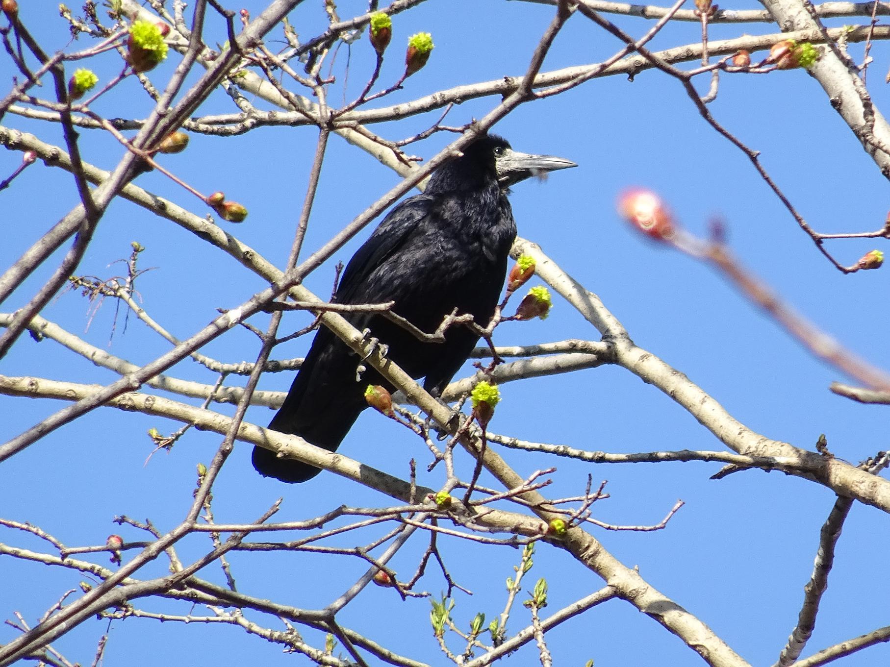 Грач (Corvus frugilegus). Автор фото: Кирилова Любовь
