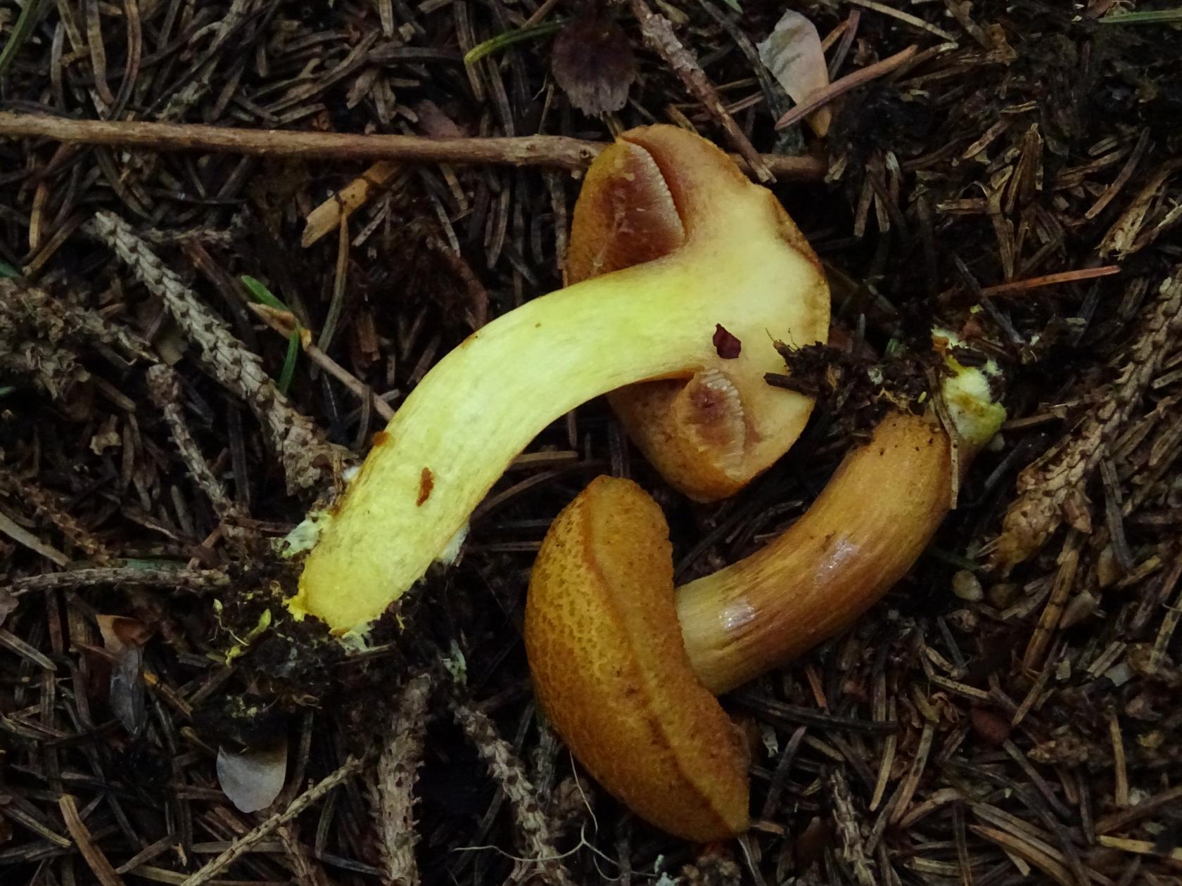 Syn.: Suillus piperatus. Витоша, ельник, 31 июля. Автор фото: Кирилова Любовь
