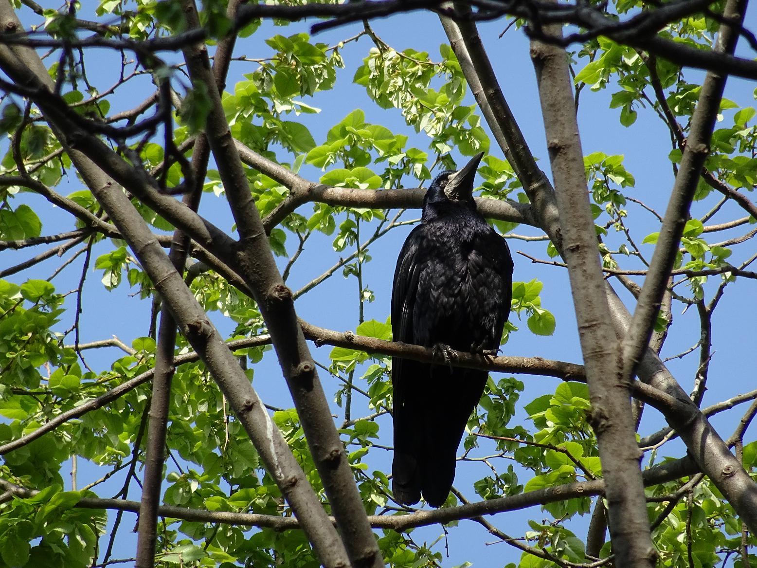 Грач (Corvus frugilegus) Автор фото: Кирилова Любовь