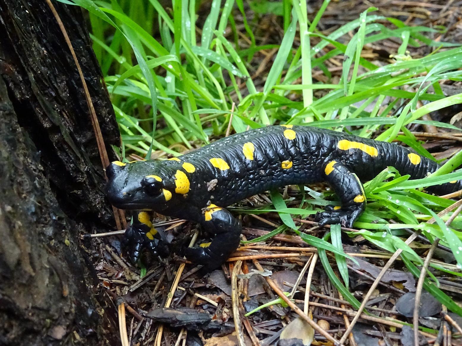 Огненная саламандра (Salamandra salamandra). Автор фото: Кирилова Любовь