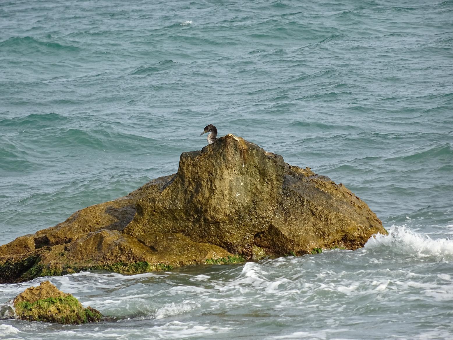Большой баклан (Phalacrocorax carbo) Автор фото: Кирилова Любовь