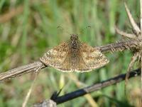 s:бабочки,s:дневные бабочки,c:бурые,c:коричневые