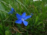s:травянистые,c:голубые,околоцветник актиноморфный,лепестков 5,c:синие,l:ланцетные,l:супротивные