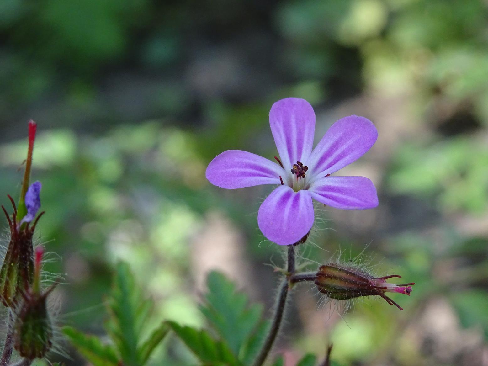 Герань Роберта (Geranium robertianum)Софийская область, 22 апреля Автор фото: Кирилова Любовь