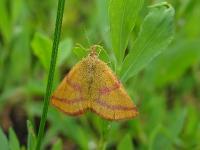 c:желтовато-коричневые,c:коричневые,s:бабочки,s:ночные бабочки,s:чешуекрылые