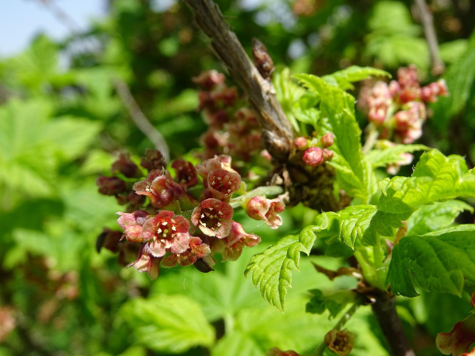 Смородина скальная (Ribes petraeum). Автор фото: Кирилова Любовь
