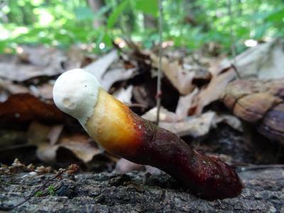 Трутовик лакированный (Ganoderma lucidum) Автор фото: Кирилова Любовь