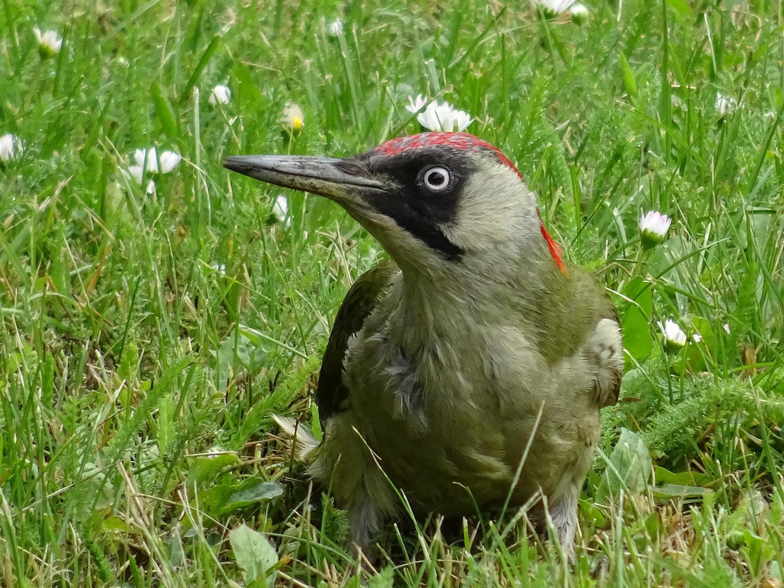 Зелёный дятел (Picus viridis). Автор фото: Кирилова Любовь