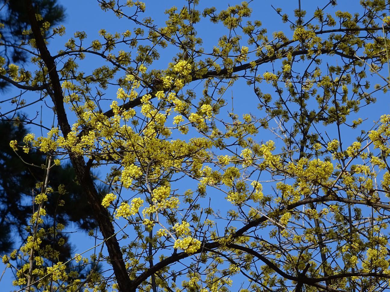 Кизил обыкновенный, Дёрен мужской, Софийская область, 17 марта. Автор фото: Кирилова Любовь