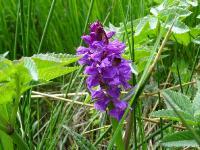s:травянистые,b:прямостоячий,c:пурпурные