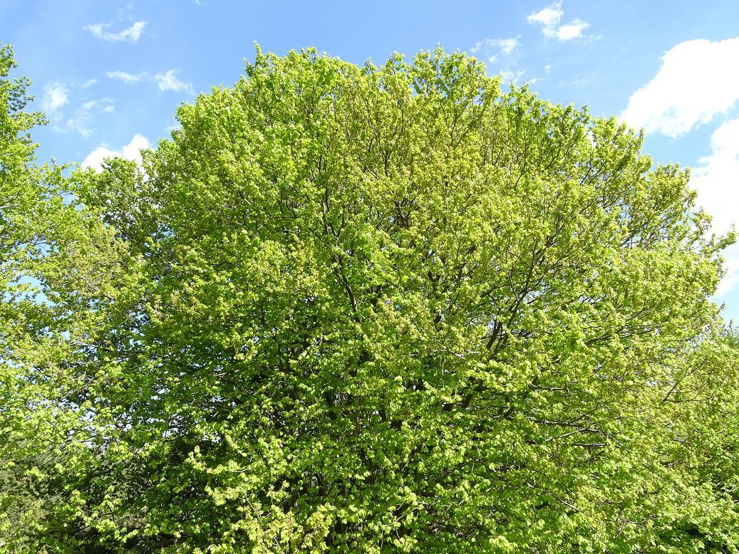 Бук лесной (Fagus sylvatica) Автор: Кирилова Любовь