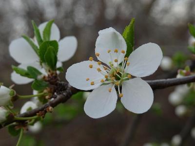 Слива вишненосная (Prunus cerasifera) Автор фото: Кирилова Любовь