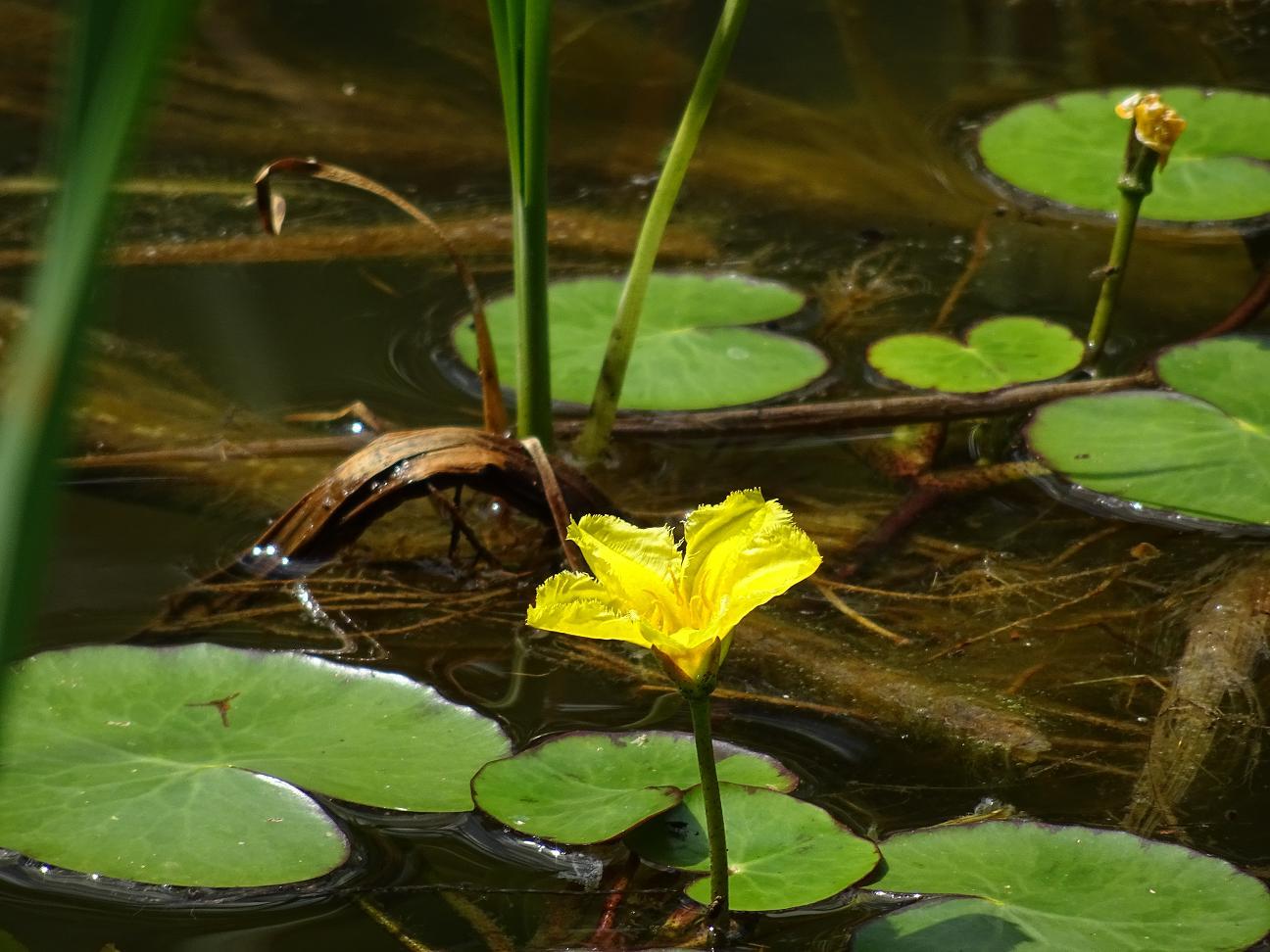 Болотноцветник щитолистный (Nymphoides peltata). Автор фото: Кирилова Любовь