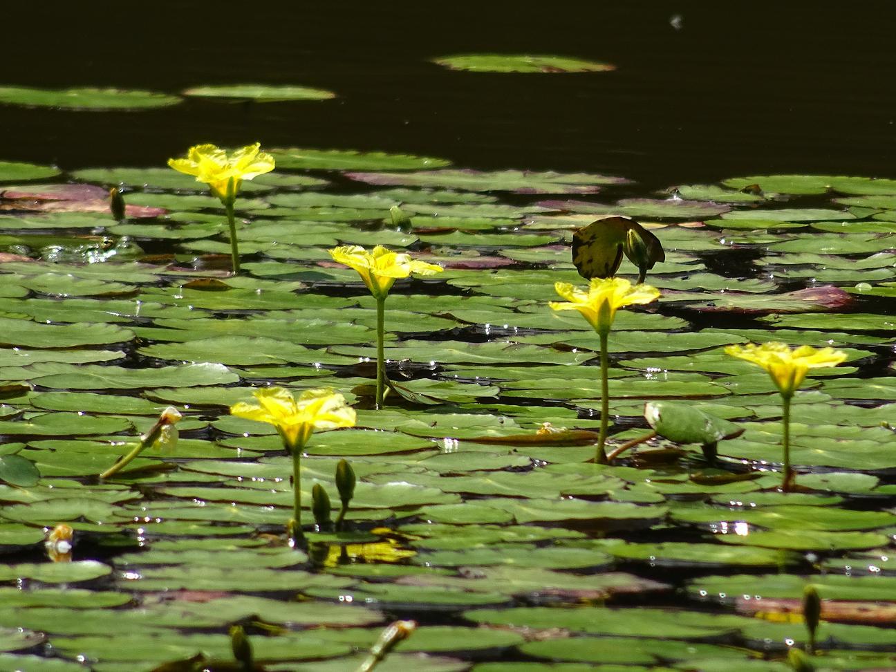 Болотноцветник щитолистный (Nymphoides peltata) Автор фото: Кирилова Любовь