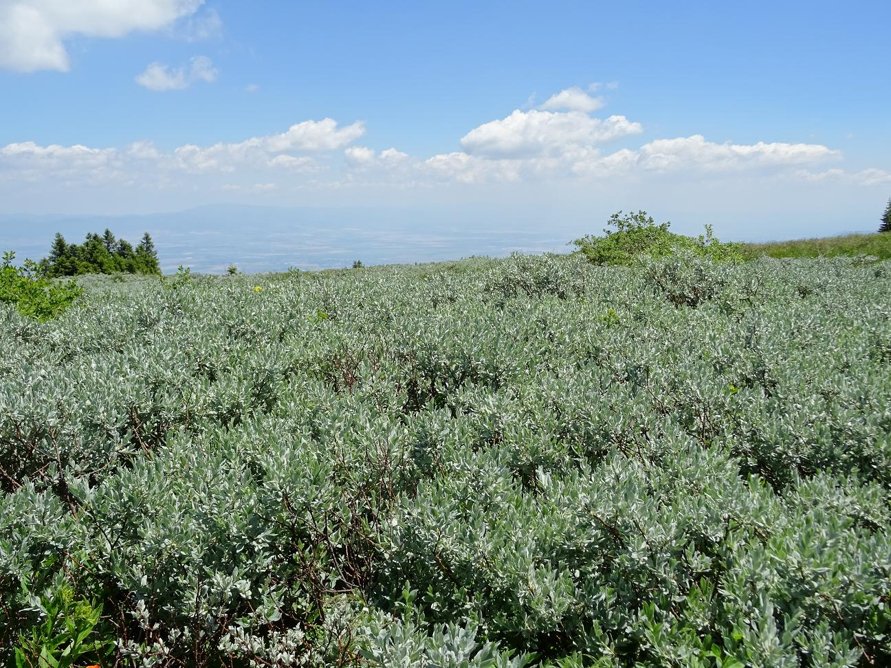 Ива лапландская (Salix lapponum) Автор: Кирилова Любовь