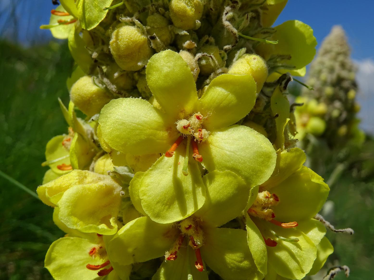 Коровяк длиннолистный (Verbascum longifolium). Автор фото: Кирилова Любовь