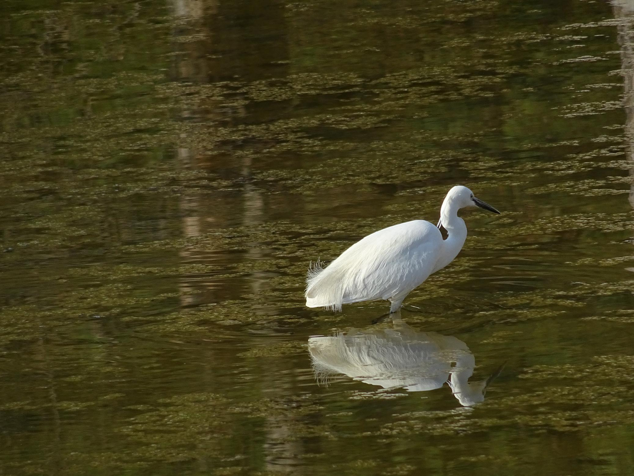 Малая белая цапля (Egretta garzetta) Автор: Кирилова Любовь