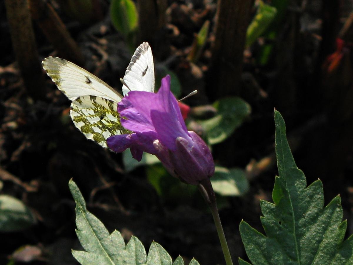 Самка. На Зубянке железистой (Dentaria glandulosa). Автор фото: Кудрявцева Татьяна