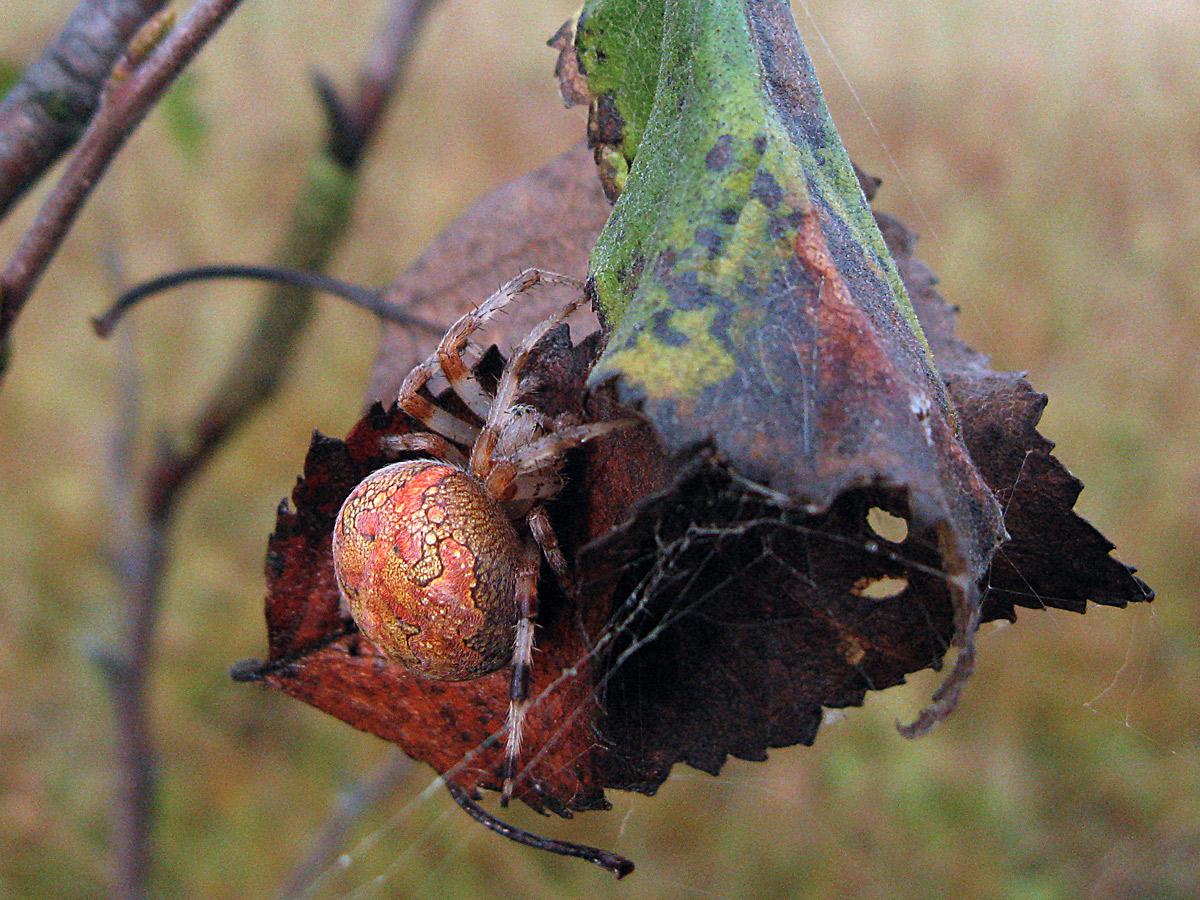Крестовик мраморный (Araneus marmoreus) Автор: Кудрявцева Татьяна