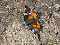 s:бабочки,s:ночные бабочки,размах крыльев до 40 мм