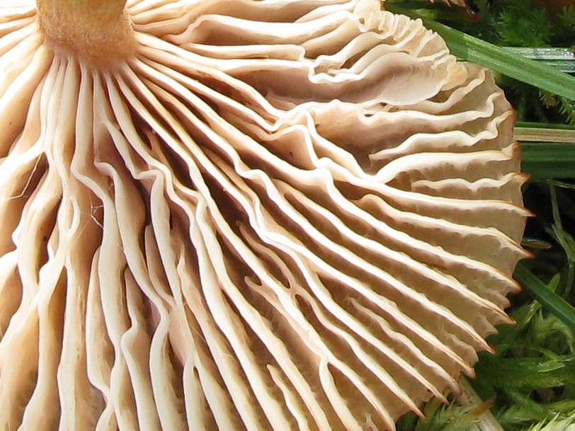 Опенок чеканный (Armillaria ectypa) Автор фото: Кудрявцева Татьяна