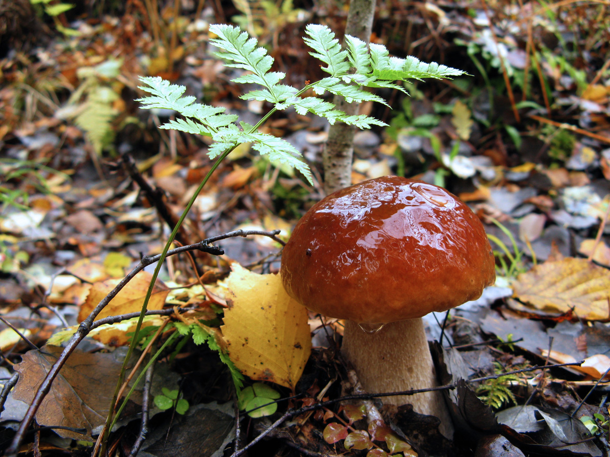 Белый гриб (Boletus edulis) Автор фото - Кудрявцева Татьяна