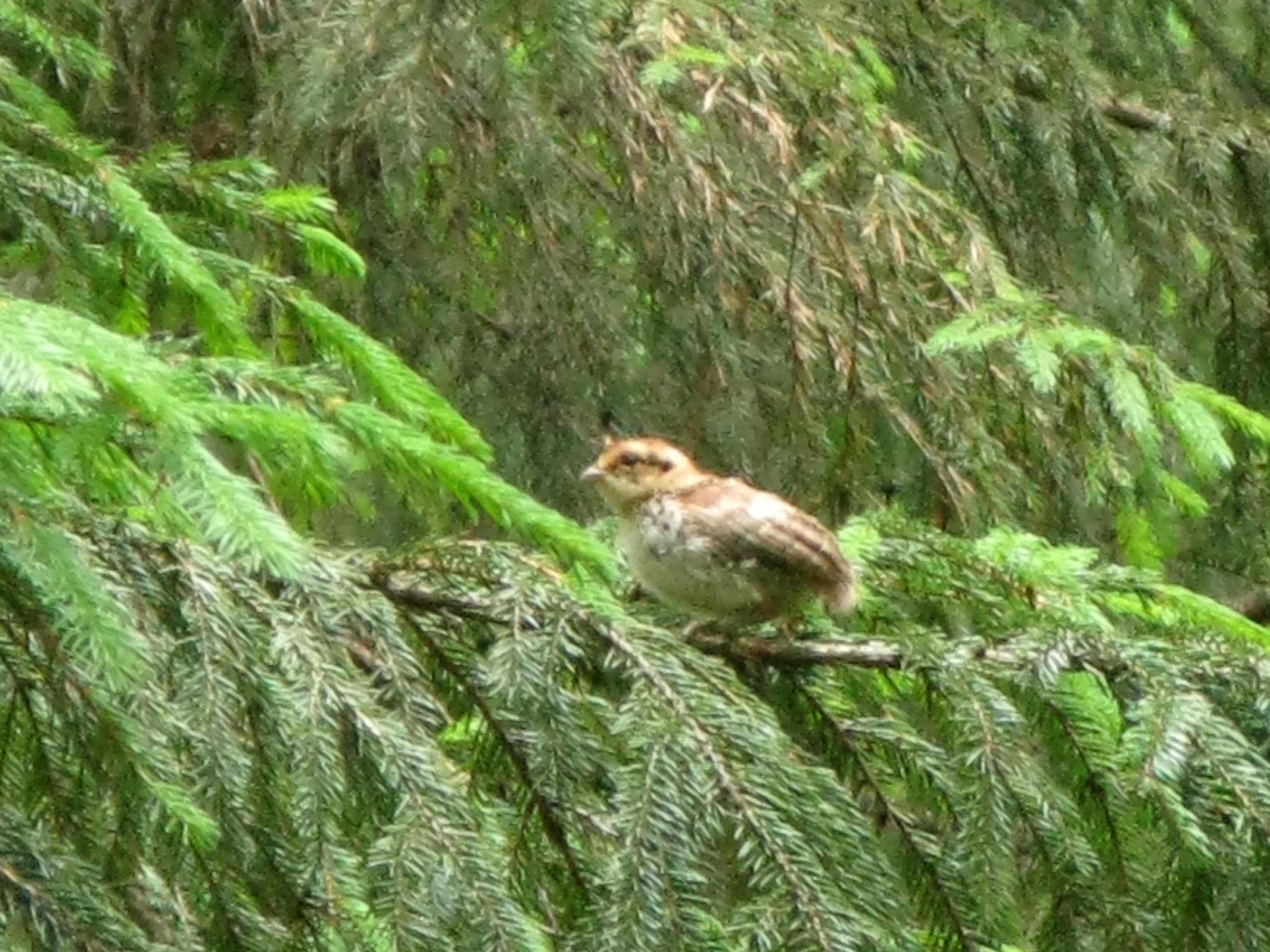 Рябчик - пугливая лесная птица и снять его довольно непросто из-за мешающих ветвей. Встречается он нередко, но, как правило, замечаешь его, когда он, хлопая крыльями, уже уносится прочь... Автор фото: Кудрявцева Татьяна
