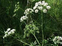s:травянистые,c:белые,c:белые,соцветия - зонтик