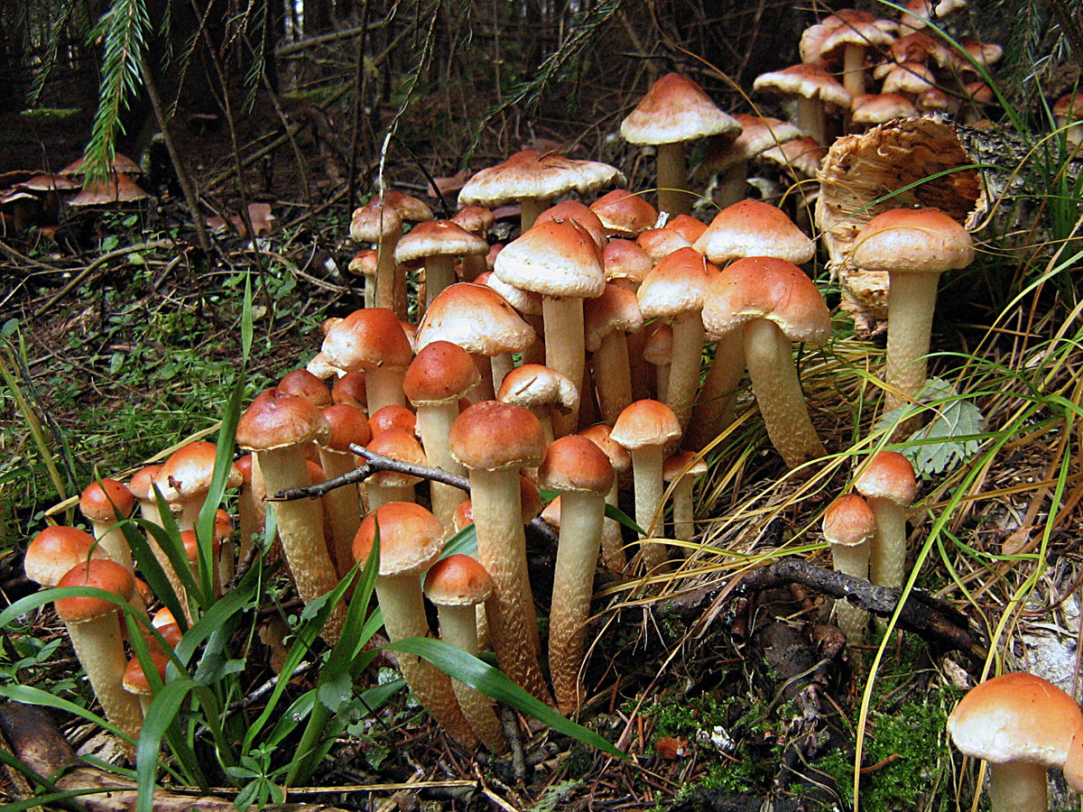 Ложноопёнок кирпично-красный (Hypholoma lateritium) Автор фото: Кудрявцева Татьяна