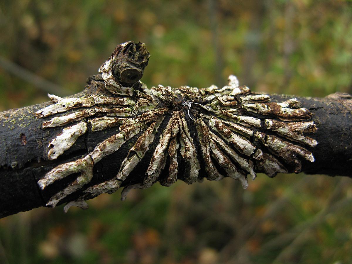 Гипокреопсис лишайниковидный (Hypocreopsis lichenoides). Автор фото: Кудрявцева Татьяна