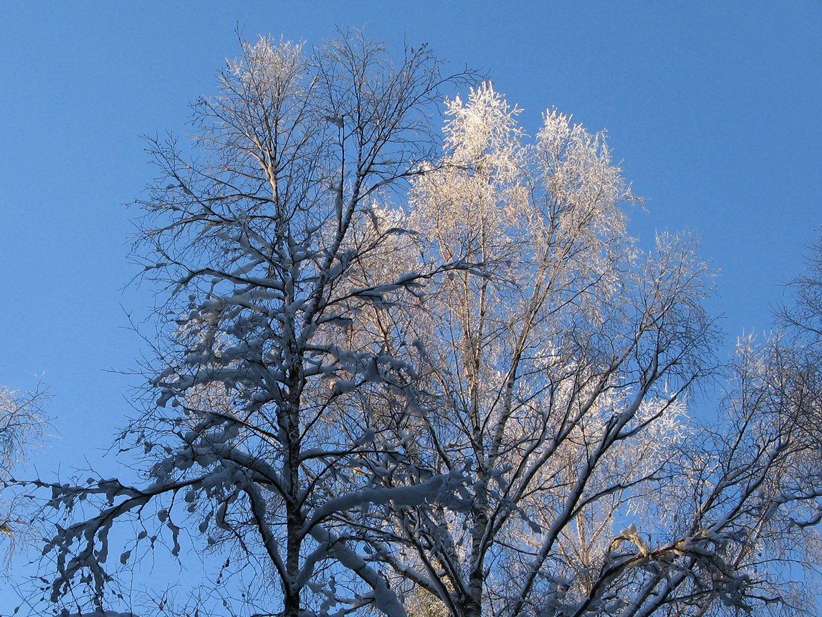 Иней на деревьях. Автор фото - Татьяна Кудрявцева