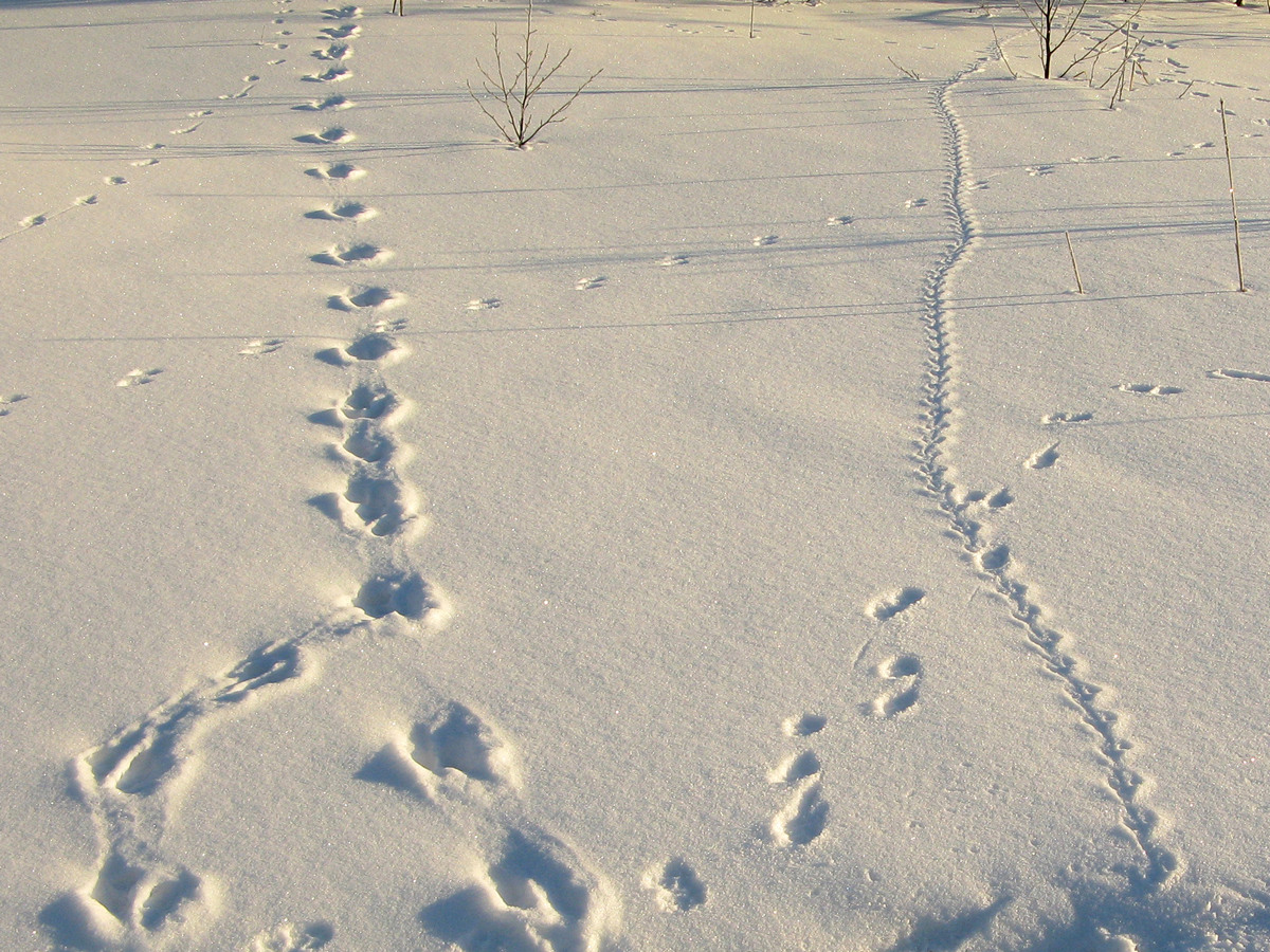 Следы на снегу. Автор фото - Татьяна Кудрявцева