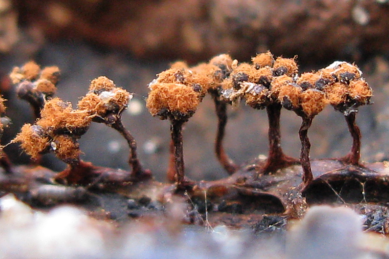 Метатрихия цветковидная (Metatrichia floriformis) Автор: Кудрявцева Татьяна