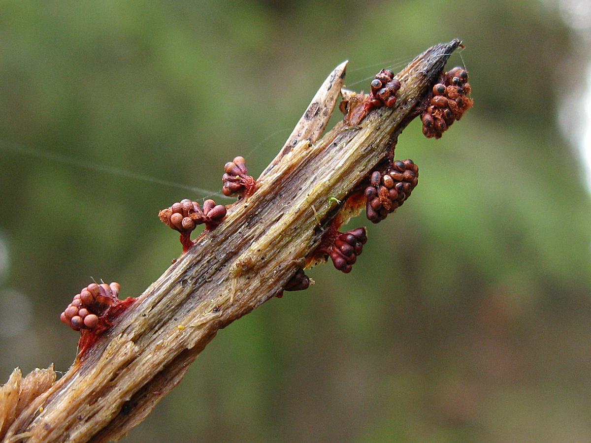 Метатрихия осовидная (Metatrichia vesparium). Автор фото: Кудрявцева Татьяна