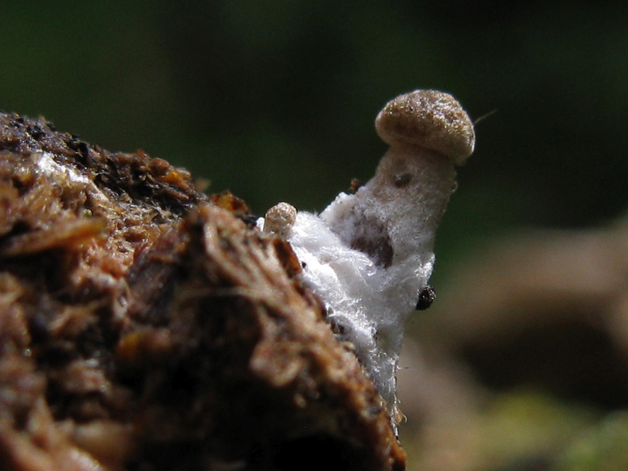 Панеолус л<span class=wiki>осины</span>й (Panaeolus alcis) Автор фото: Кудрявцева Татьяна