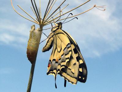 Махаон (Papilio machaon)  Автор фото: Кудрявцева Татьяна