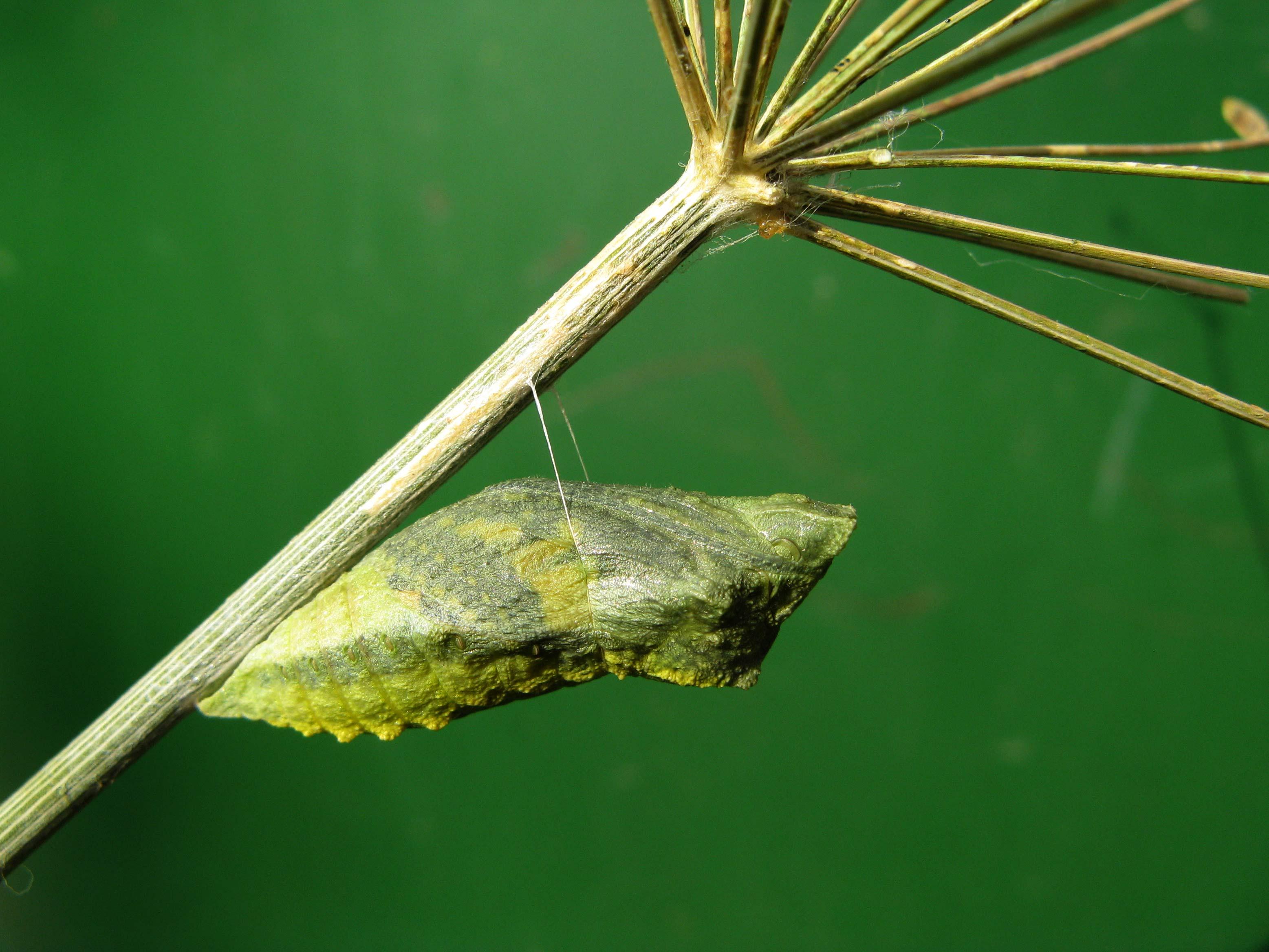 Махаон (Papilio machaon). Автор фото: