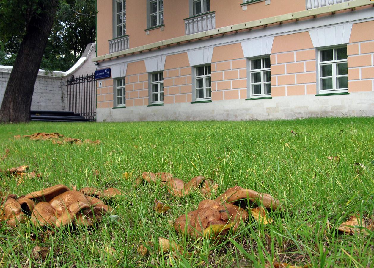 По случаю переезда Мосгордумы на территорию Ново-Екатерининской больницы (Усадьбы Гагариных), на Страстном бульваре перед зданиями был насажен газон. Не рулонный, а обычный. Едва на нем выросла молодая травка, как появились свинушки. Столько свинушек одновременно я не видела никогда в жизни. Газонокосилка их не брала, они с завидным упорством вылезали заново. Москва, 2016. Автор фото: Кудрявцева Татьяна