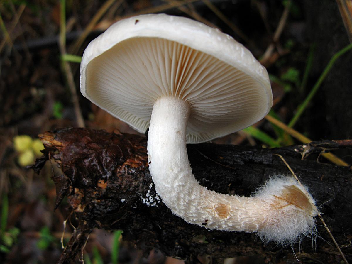 Молодой гриб был под опавшей листвой и не успел потемнеть. Автор фото: Кудрявцева Татьяна