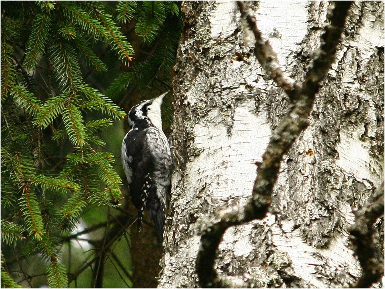 Трёхпалый дятел (Picoides tridactylus). Автор фото: