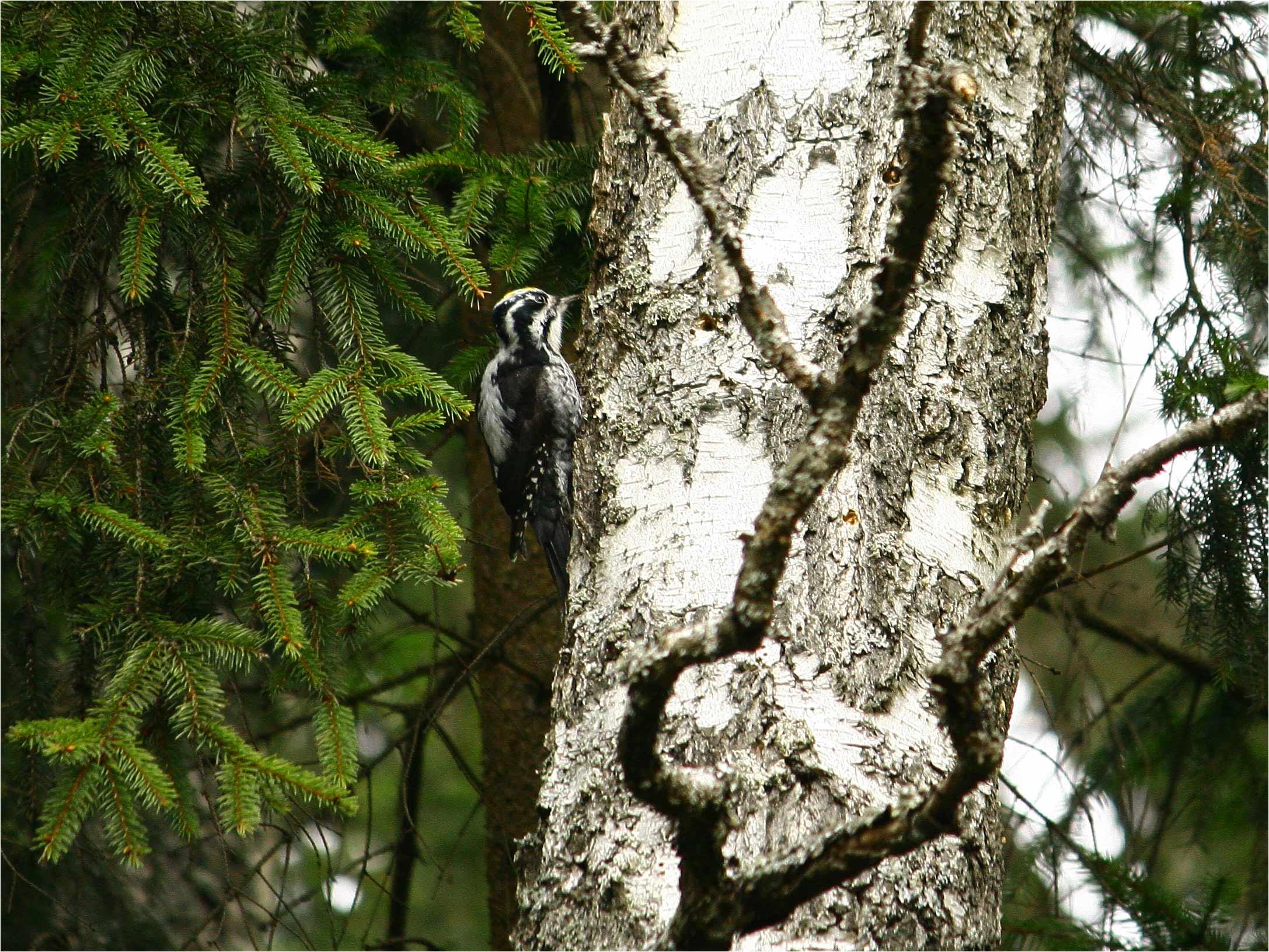 Трёхпалый дятел (Picoides tridactylus). Автор фото: Кудрявцева Татьяна