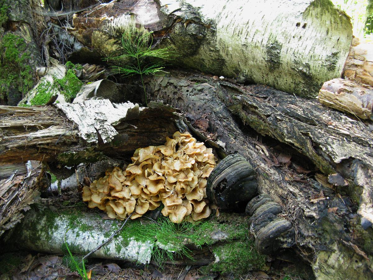 Трутовик разветвленный (Polyporus umbellatus). Автор фото: Кудрявцева Татьяна