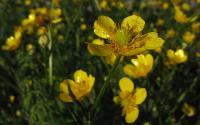 s:травянистые,c:желтые,околоцветник актиноморфный,лепестков 5,c:золотисто-желтые