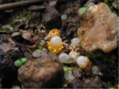 Сфероболюс звёздчатый (Sphaerobolus stellatus) Автор фото: Кудрявцева Татьяна