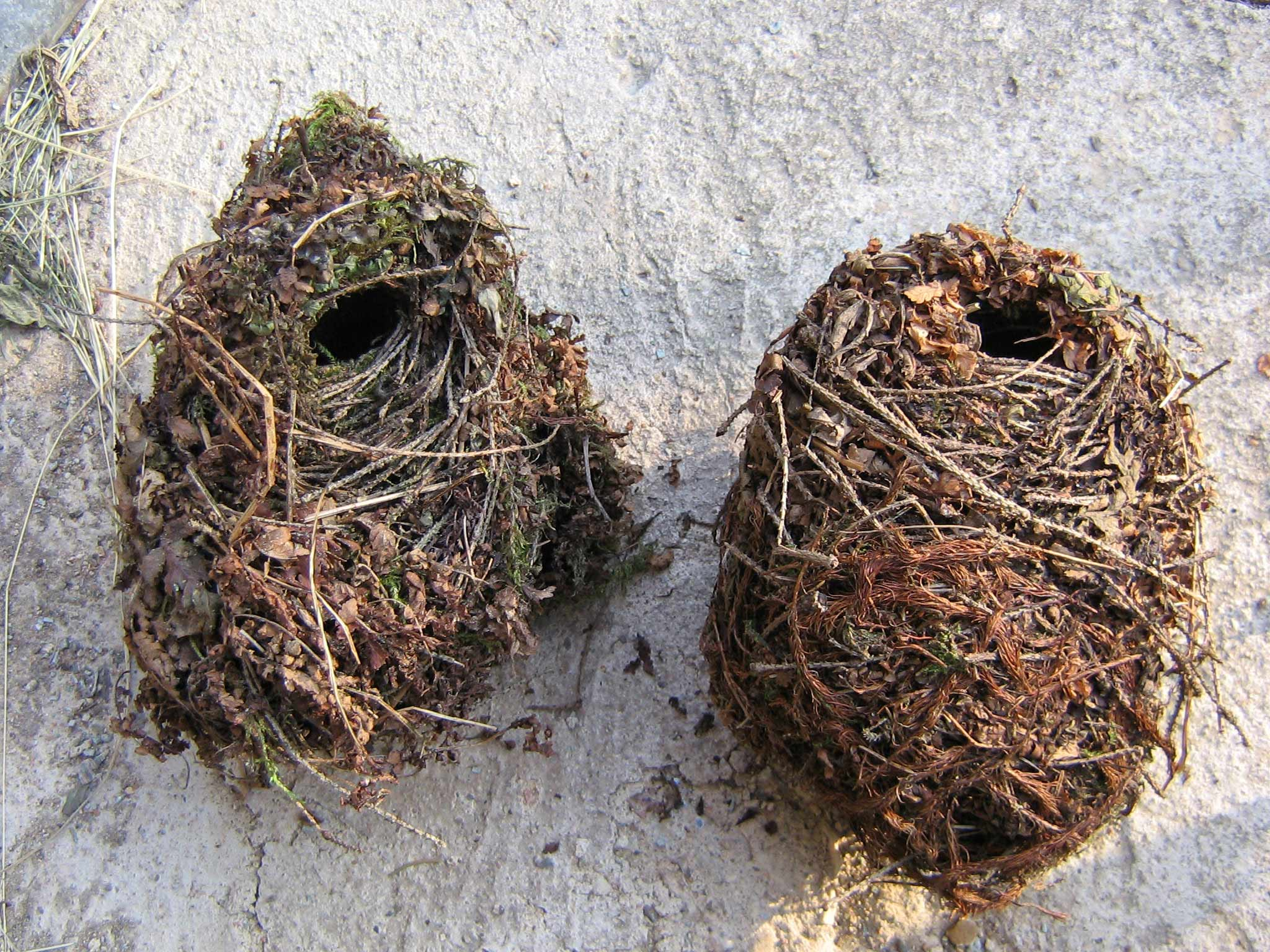 Старые гнезда крапивников. Московская область, Солнечногорский р-н, июнь 2007 Автор фото: Кудрявцева Татьяна