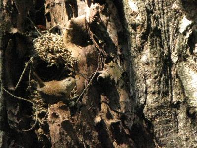 Крапивник (Troglodytes troglodytes)  Автор фото: Кудрявцева Татьяна