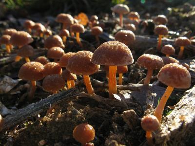 Тубария отрубистая (Tubaria furfuracea)  Автор фото: Кудрявцева Татьяна