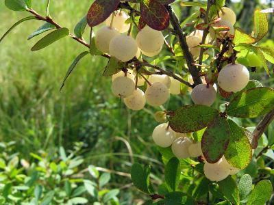 Голубика (Vaccinium uliginosum)  Автор фото: Кудрявцева Татьяна