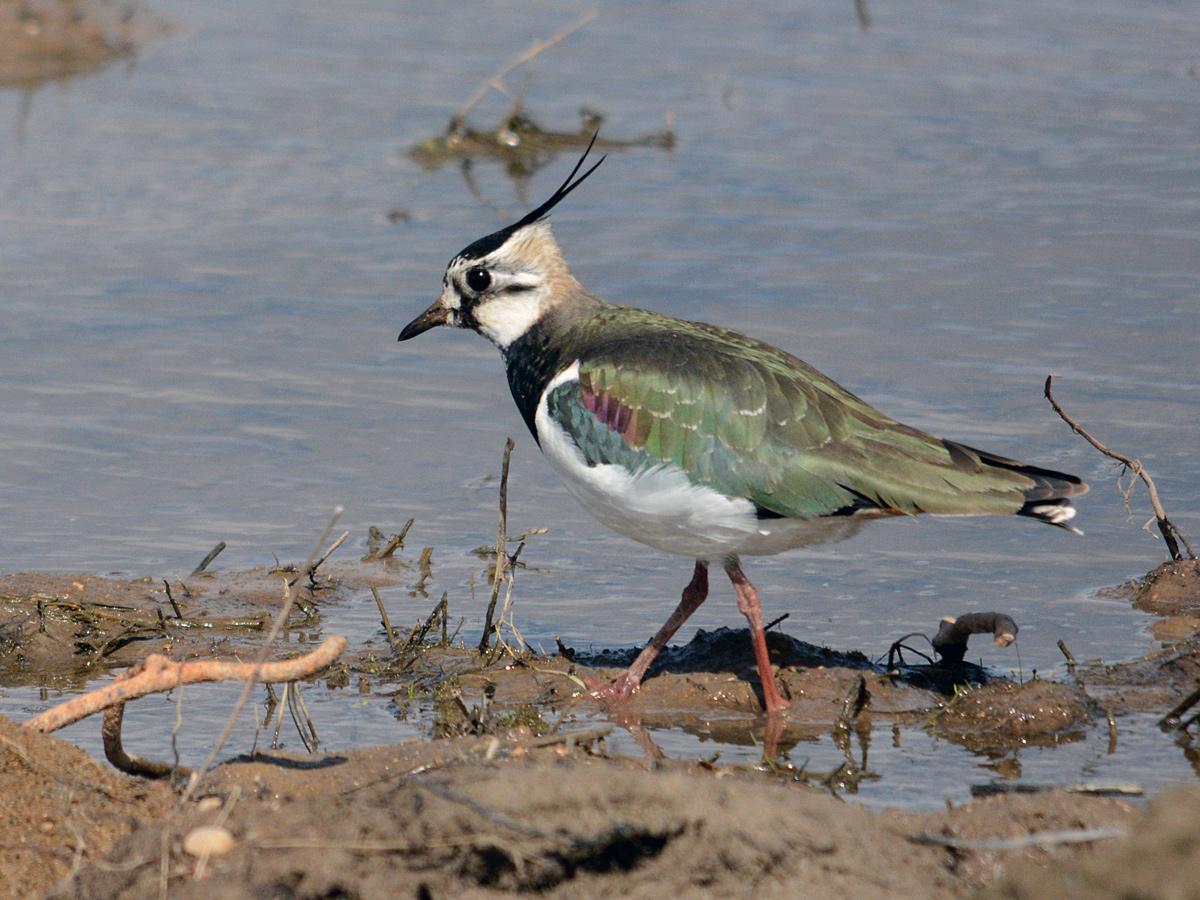 Чибис (Vanellus vanellus). Автор фото: