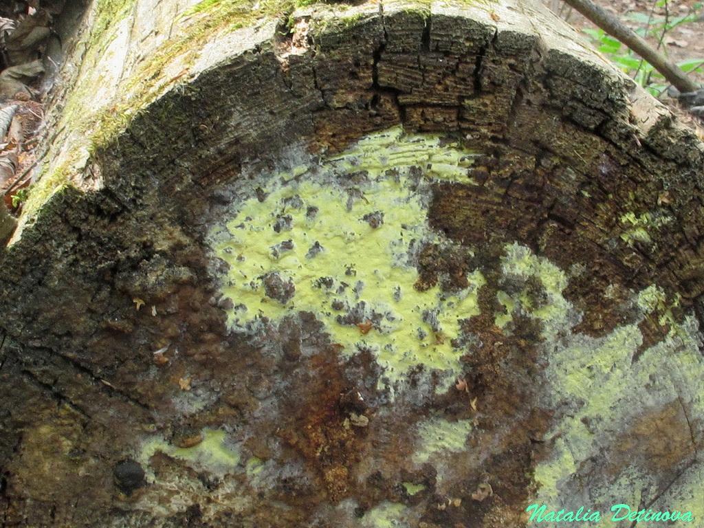 Амилокортициум субинкарнатный (Amylocorticium subincarnatum). Автор фото: Детинова Наталия